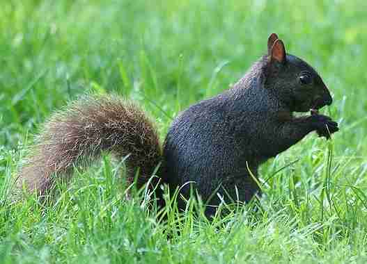 black squirrelrev